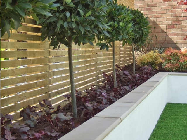 Horizontal slatted fence and topiary bay trees under planted with heuchera