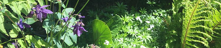 May 2020 naturalistic planting for a shady border with aquilegia, bergenia, sweet woodruff and ferns.